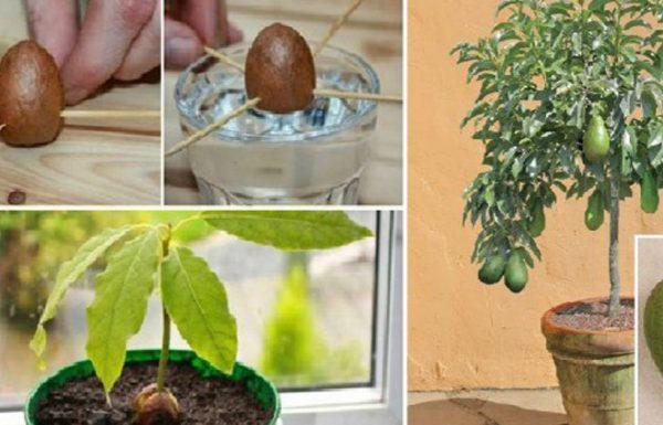 שישה שלבים לגידול עץ אבוקדו בבית
