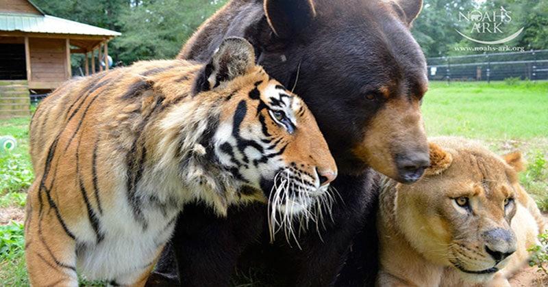 אריה, נמר, דב