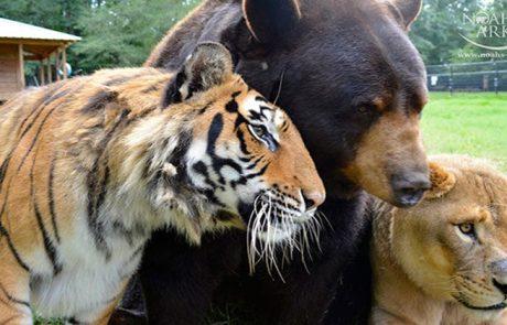 דב, אריה ונמר, לא עזבו אחד את חיקו של השני במשך 15 שנים