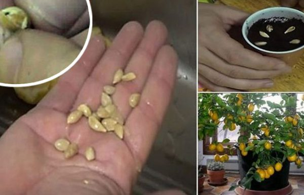 איך לגדל בקלות עץ לימונים אורגני מגרעינים בביתכם