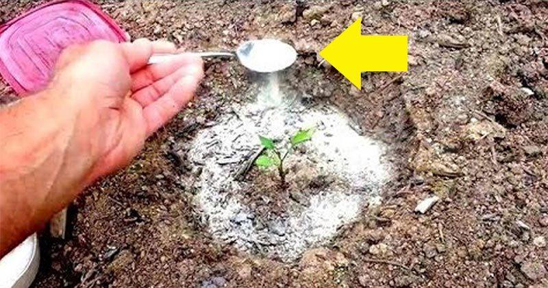 15 דרכים להשתמש ב-סודה לשתייה בחצר ובעציצים שלכם