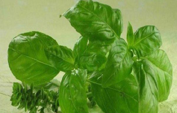 הצמח הזה אנטיביוטי, נוגד חמצון, מנקה את מחזור הדם ומפרק כולסטרול