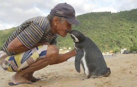 ה-פינגווין הזה שוחה מדי שנה 8000 קילומטרים כדי לפגוש את האדם שהציל את חייו