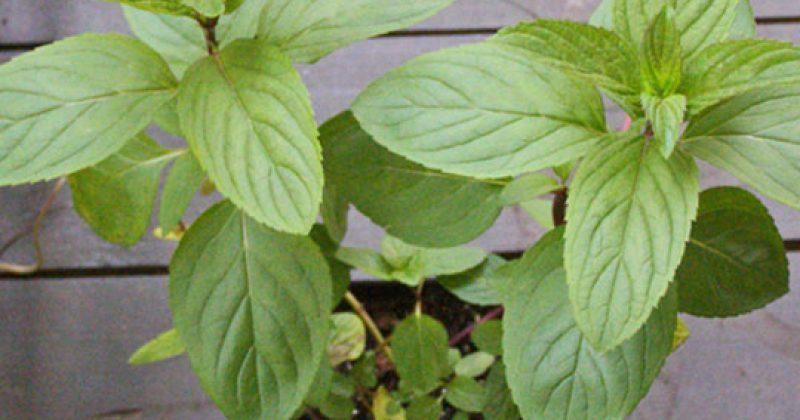 בזכות הצמח המופלא הזה אתם לעולם לא תראו עכבישים או חרקים אחרים בבית שלכם!