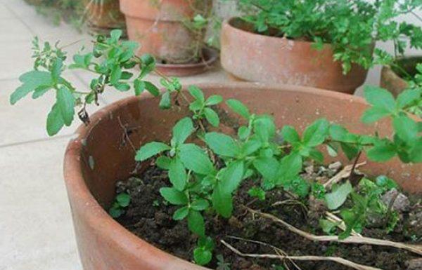 למה חברות הסיגריות מפחדות שתגלו את הצמח הזה?