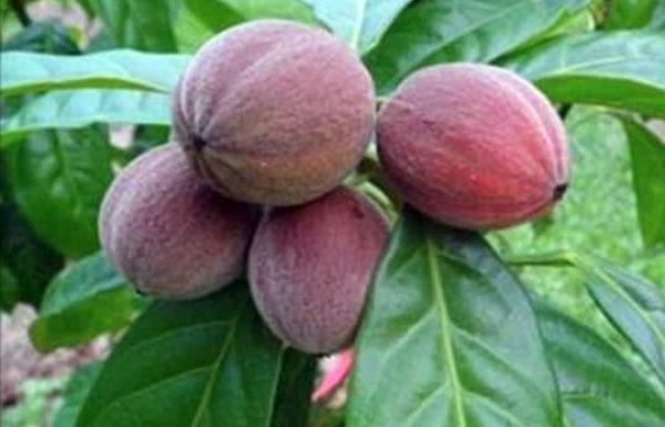 תגלית חדשה מדהימה! הפרי הזה משמיד תאי סרטן תוך מספר דקות!